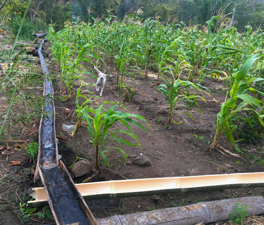 A white dog runs through a maize crop with a bamboo irrigation channel next to it.