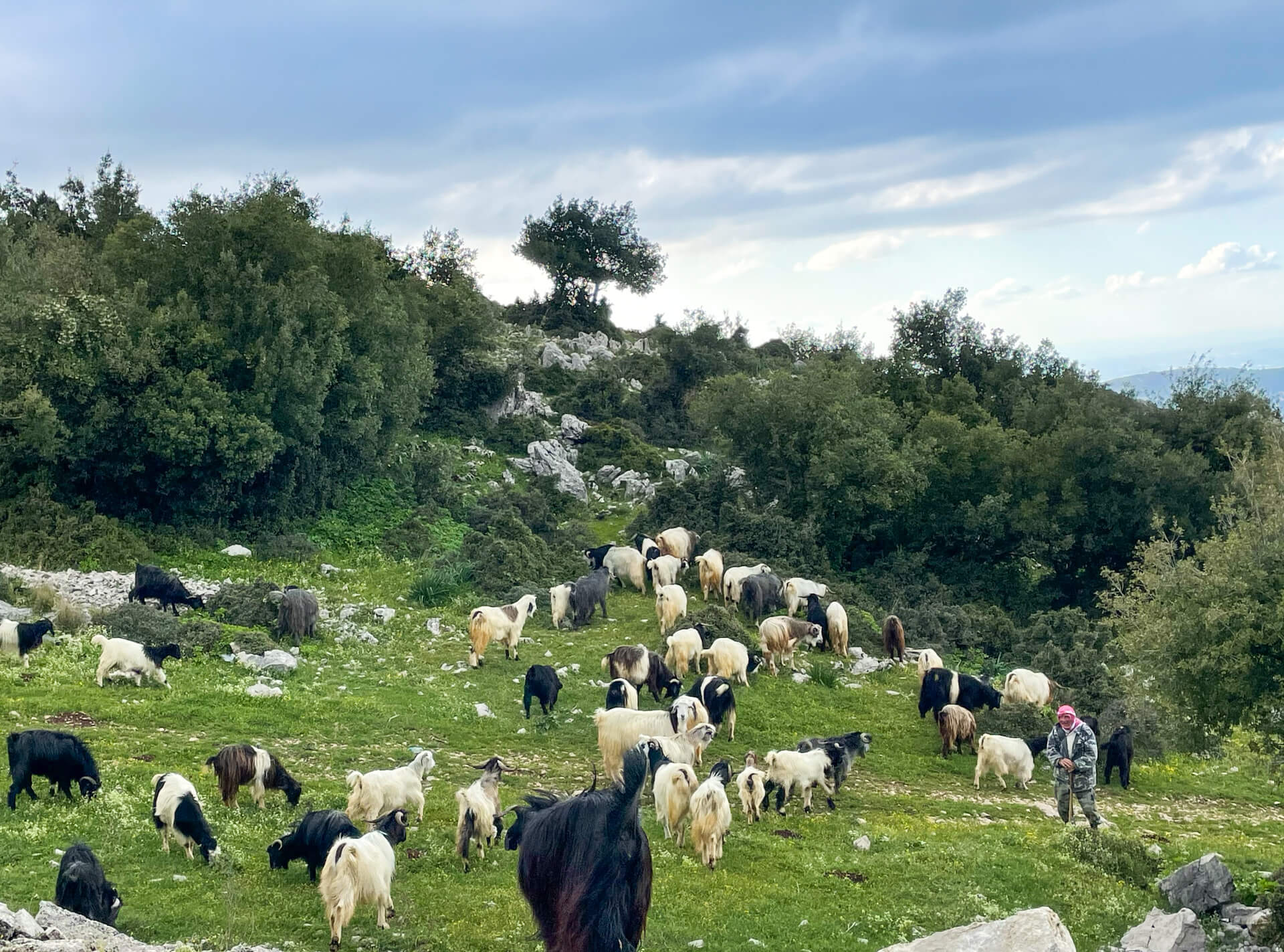 A herd of goats grazing with their shepherd