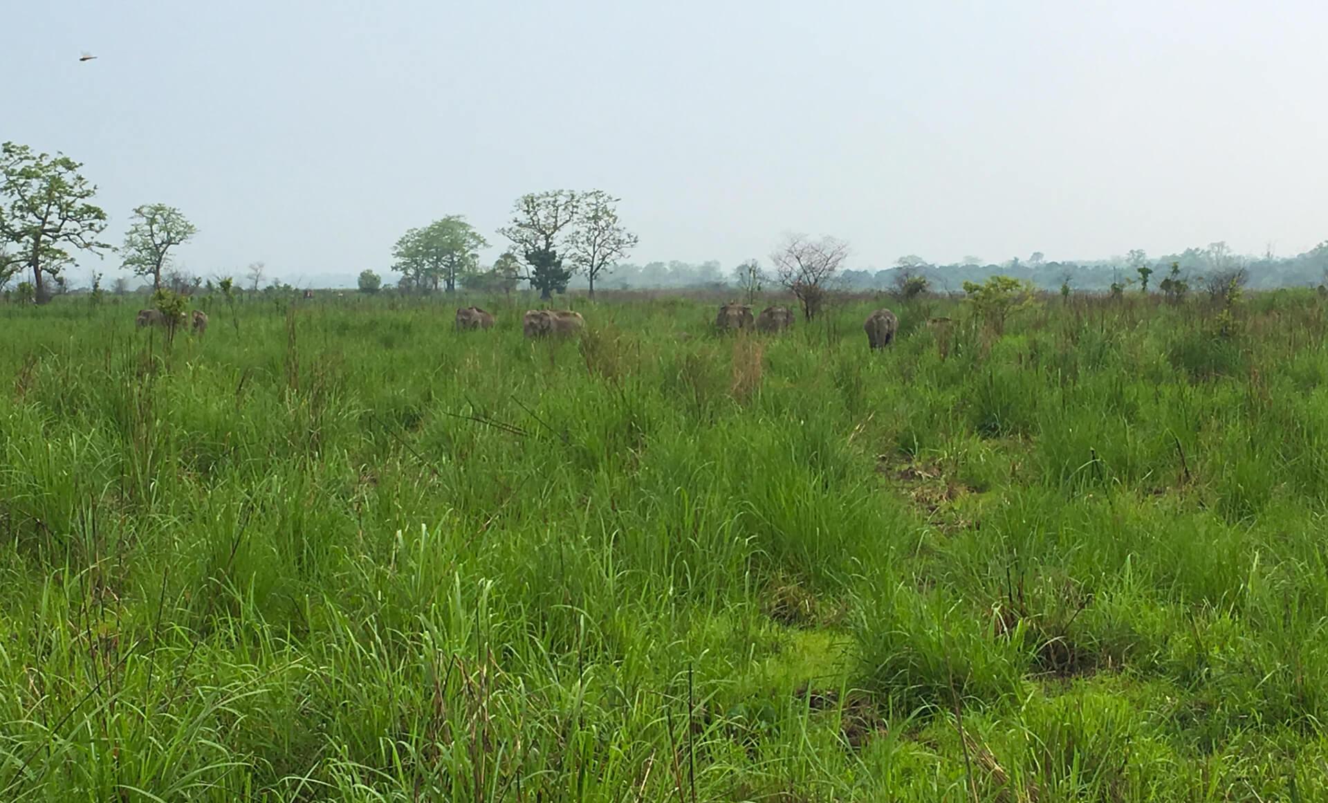 Elephants grazing in the Kaziranga National Park.