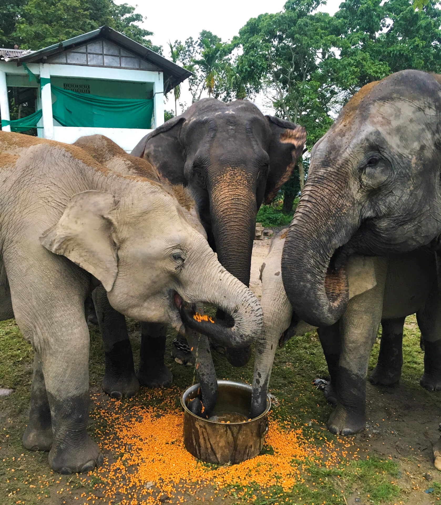 Three elephants eating food from a metal pot.